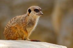 Cute Meerkat, Suricata suricatta, sitting on the stone Stock Photos