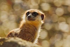 Cute Meerkat, Suricata suricatta, sitting on the tree trunk in white flower meadow, Namibia. Beautiful animal in the nature. Habitat. Wildlife scene from nature royalty free stock images