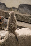 Cute Meerkat Suricata Suricatta on stone Royalty Free Stock Image