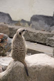 Cute Meerkat Suricata Suricatta on stone Stock Photos