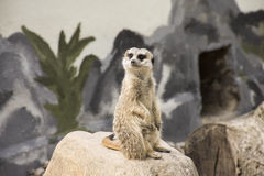 Cute Meerkat Suricata Suricatta on stone Royalty Free Stock Photos