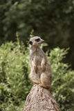 Cute Meerkat Suricata Suricatta on stone Stock Photography