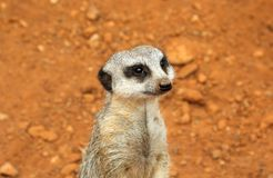 Cute meerkat suricate on guard Royalty Free Stock Image