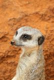 Cute meerkat suricate on guard Stock Photo
