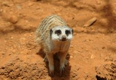 Cute meerkat suricate looking at camera Royalty Free Stock Photography