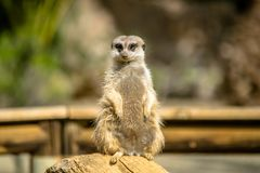Cute Meerkat on watch Royalty Free Stock Images