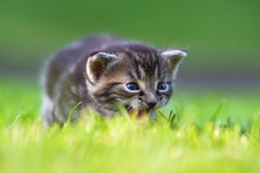Cute meowing kitten Stock Photo