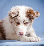 Cute merle color border collie Royalty Free Stock Image