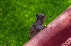Cute mexican squirrel alertness. Grass bokeh background stock photo