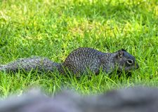 Cute mexican squirrel alertness. Grass bokeh background royalty free stock image