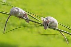Cute mice - (acomys cahirinus) royalty free stock photo