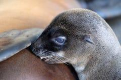 Sea Lion cub stock image