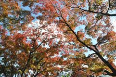 True Red Autumn Leaves Tree royalty free stock image