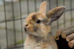 Cute mini-lop rabbit in garden. Dutch mini-lop rabbit in exercise pen Stock Photo