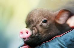 Cute mini piglet on child arms Royalty Free Stock Photo