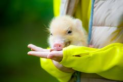 Cute mini piglet on child arms. In summer Royalty Free Stock Photos