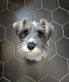 Cute Mini Schnauzer puppy on tiles stock images