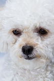 Cute mini toy poodle Stock Photo