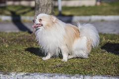 Cute miniature dog Royalty Free Stock Photos