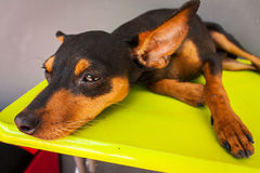 Cute miniature dog Stock Images