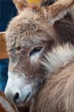 Cute miniature donkey Stock Image