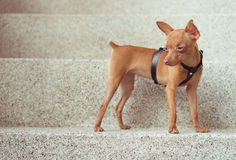 Cute miniature pinscher puppy in leather straps. Closeup of cute miniature ginger pinscher puppy in leather fashion straps standing on the stone stairs stock photo