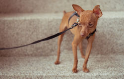 Cute miniature pinscher puppy in leather straps Royalty Free Stock Images