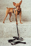 Cute miniature pinscher puppy in leather straps Royalty Free Stock Photo