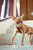 Cute miniature pinscher puppy in leather straps Royalty Free Stock Photos