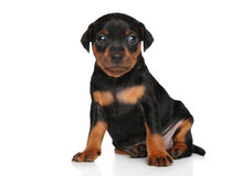 Cute Miniature Pinscher puppy. Sits in front of white background Royalty Free Stock Photo