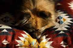 Cute miniature Pomeranian Spitz. pet`s dream. Dog on a sleep sofa royalty free stock image