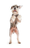 Cute miniature schnauzer. Dancing isolated on white background royalty free stock image