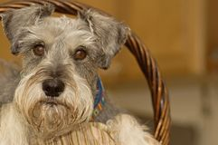 Cute miniature schnauzer dog in an Easter basket. A salt and pepper miniature schnauzer in a brown wicker Easter basket stock image