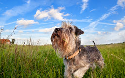 Cute miniature schnauzer on green grass over blue sky Royalty Free Stock Photos