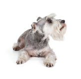Cute miniature schnauzer Royalty Free Stock Image