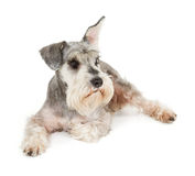Cute miniature schnauzer Stock Image