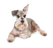Cute miniature schnauzer. Isolated on white background stock photos