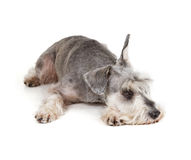 Cute miniature schnauzer Stock Images