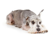 Cute miniature schnauzer Royalty Free Stock Photo