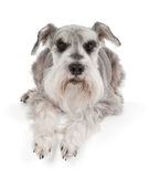 Cute miniature schnauzer royalty free stock photos