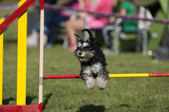 Cute Miniature Schnauzer jumping over agility hurdle on competition. Cute Miniature Schnauzer jumping over agility pole on competition royalty free stock images
