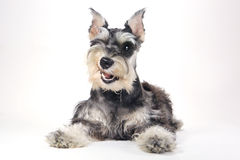 Cute Miniature Schnauzer Puppy Dog on White Background Stock Photos