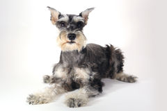 Cute Miniature Schnauzer Puppy Dog on White Background Royalty Free Stock Photo