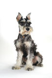 Cute Miniature Schnauzer Puppy Dog on White Background Stock Photography