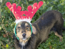 Cute mix breed dog with reindeer horns Royalty Free Stock Image