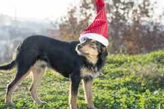 Cute mix breed dog with Santa Claus hat Stock Photo