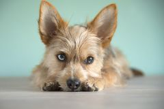Cute mix dog puppy with a bleu eye royalty free stock photos
