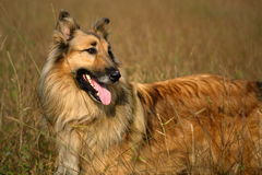 Cute mixed breed dog. Cute mixed breed collie dog in brown dry grass Stock Image