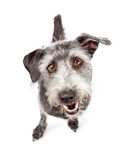 Cute Mixed Breed Dog With Funny Expression Royalty Free Stock Images
