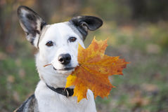 Free Cute Mixed-breed Dog Holding Autumn Yellow Leaf Royalty Free Stock Images - 45573769